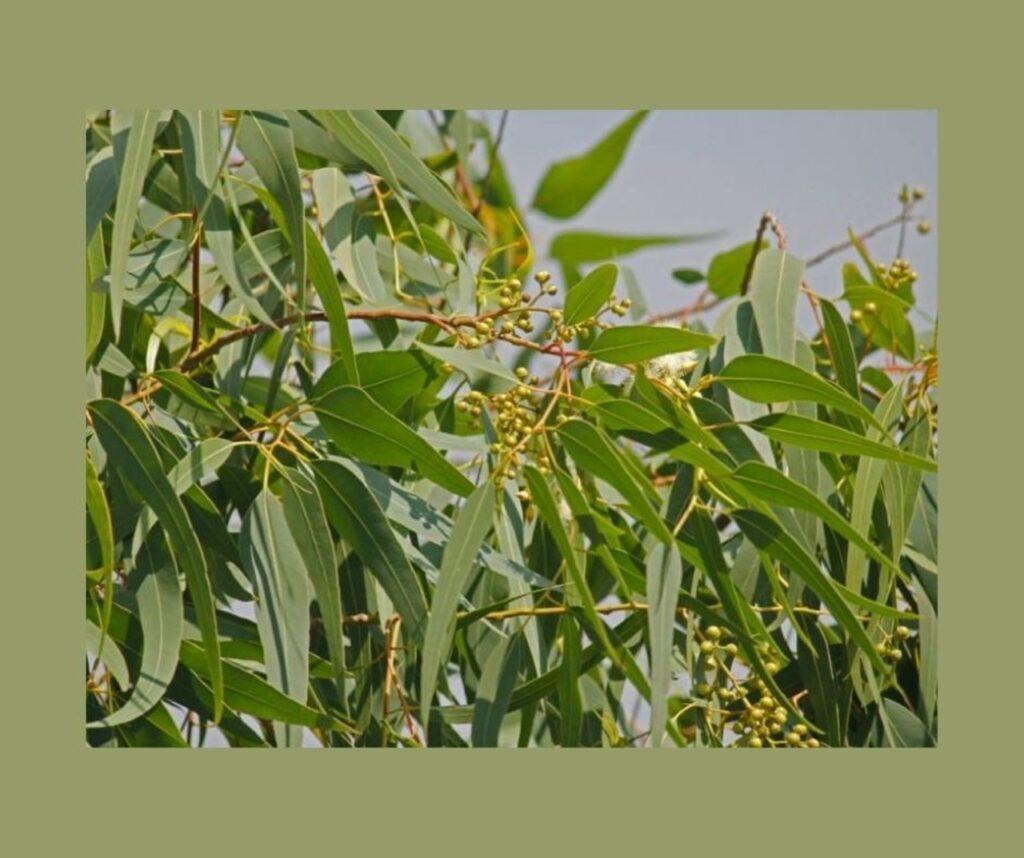 listovi limunskog eukaliptusa